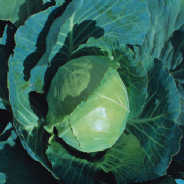 Cabbage Earliest of All - Appx 800 seeds